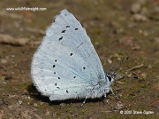 Holly Blue butterfly (Celastrina argiolus) feeding on damp ground