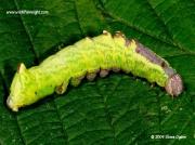 2000 Iron prominent caterpillar (Notodonta dromedarius) © 2009 Steve Ogden