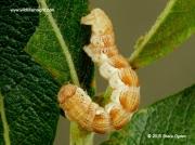 1935 Mottled Umber caterpillar (Erannis defoliaria) © 2015 Steve Ogden