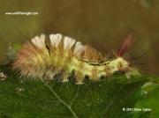2028 Pale Tussock 38mm larva (Calliteara pudibunda) © 2013 Steve Ogden