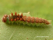 Pebble Hook-tip caterpillar (Drepana falcataria) photo Graham Calow