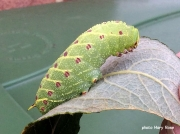1981 Poplar Hawkmoth fully grown caterpillar Laothoe populi Uk photo Mary Rose