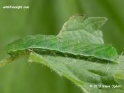 2305 Small Angle Shades caterpillar (Euplexia lucipara) © 2013 Steve Ogden