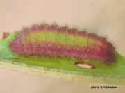 Small Copper Butterfly caterpillar (Lycaena phlaeas) pink green form  sighting D Nicholson