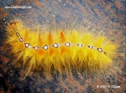 2279 Sycamore moth caterpillar Acronicta aceris © S.Gilligan