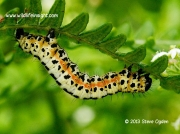 1884 The Magpie Moth caterpillar Abraxas grossulariata