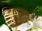 Ringlet (Aphantopus hyperantus) underside