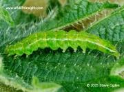 2477 The Snout fully grown 27mm caterpillar (Hypena proboscidalis) © 2015 Steve Ogden