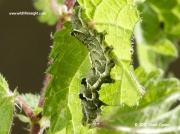 2450 The Spectacle caterpillar (Abrostola tripartita) dark form on nettle © 2015 Steve Ogden