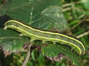 2163 Broom Moth (Melanchra pisi) - caterpillar