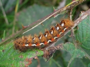 2289 Knot Grass (Acronicta rumicis) caterpillar- brown form