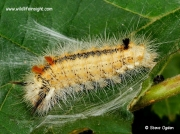 2425 Nut-tree Tussock (Colocasia coryli) caterpillar