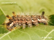 2425 Nut-tree Tussock (Colocasia coryli) caterpillar dark form