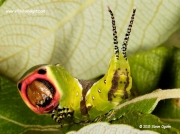 1995 Puss Moth caterpillar (Cerura vinula) © 2015 Steve Ogden