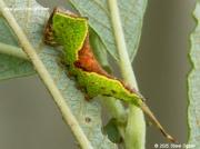 1997 Sallow Kitten caterpillar (Furcula furcula) © 2015 Steve Ogden