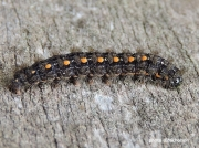 2047 Scarce Footman caterpillar (Eilema complana) photo D. Nicholson