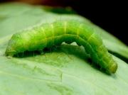 'Caterpillar