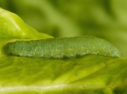 1550 Small White Butterfly (Pieris rapae) fully grown caterpillar