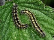 1593 Small Tortoiseshell (Aglais urticae) - caterpillars