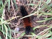2056 Wood Tiger caterpillar (Parasemia plantaginis plantaginis) -recorder Katherine Pogson