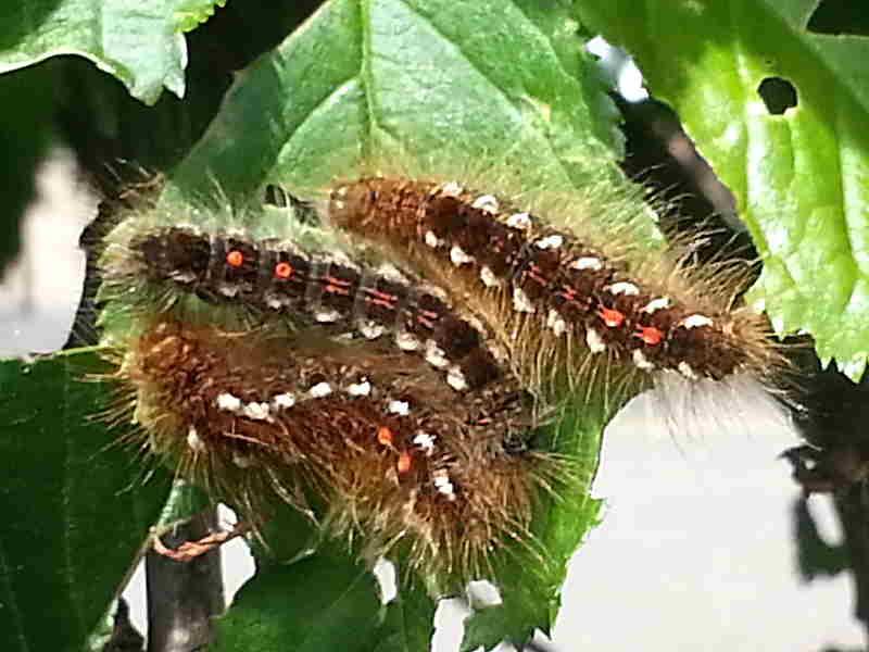 Brown-tail (Euproctis chrysorrhoea) caterpillars © K York