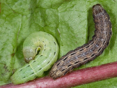 2107 Large Yellow Underwing caterpillars (Noctua pronuba) green and brown forms