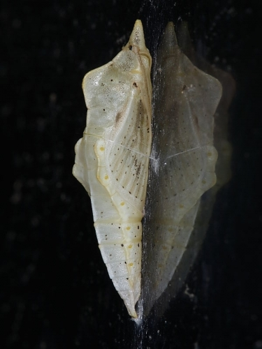 1551 Green-veined White Butterfly (Pieris napi) pale chrysalis on wall