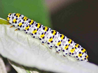 2221 The Mullein (Shargacucullia verbasci) caterpillar