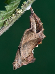 1598 Comma butterfly (Polygonia c-album) - pupating