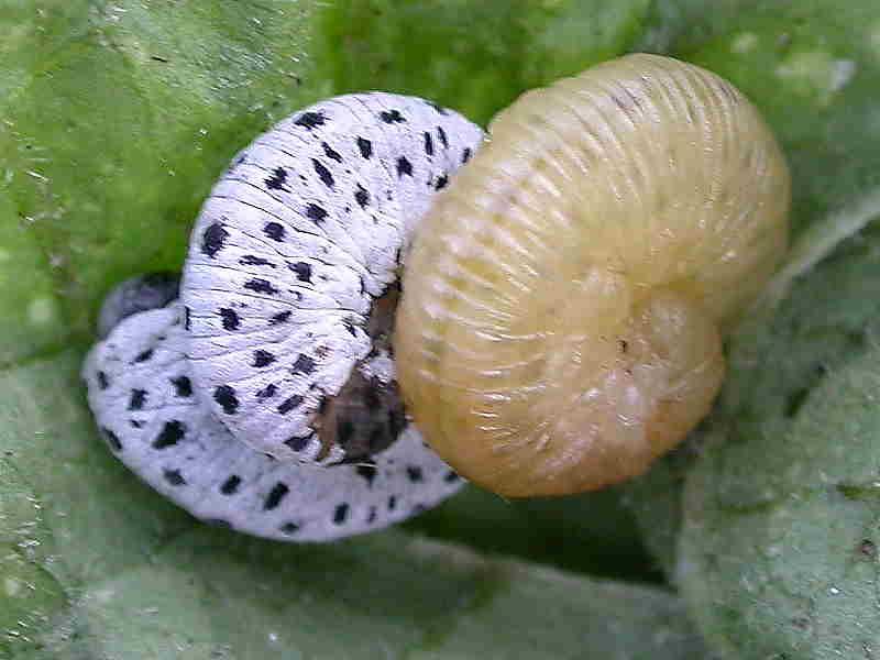 Identification Of Sawfly Caterpillars On Garden Plants