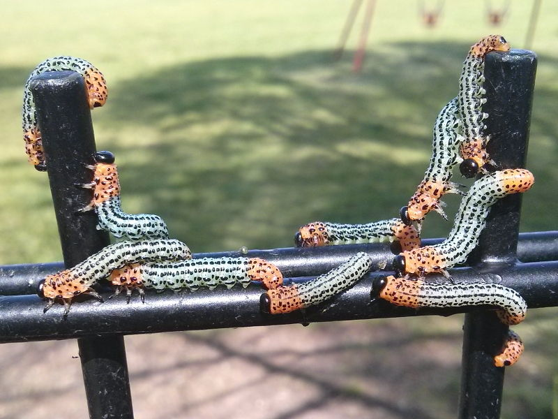 Sawfly larvae nematus species on railings beside willow tree photo Tony Smethurst