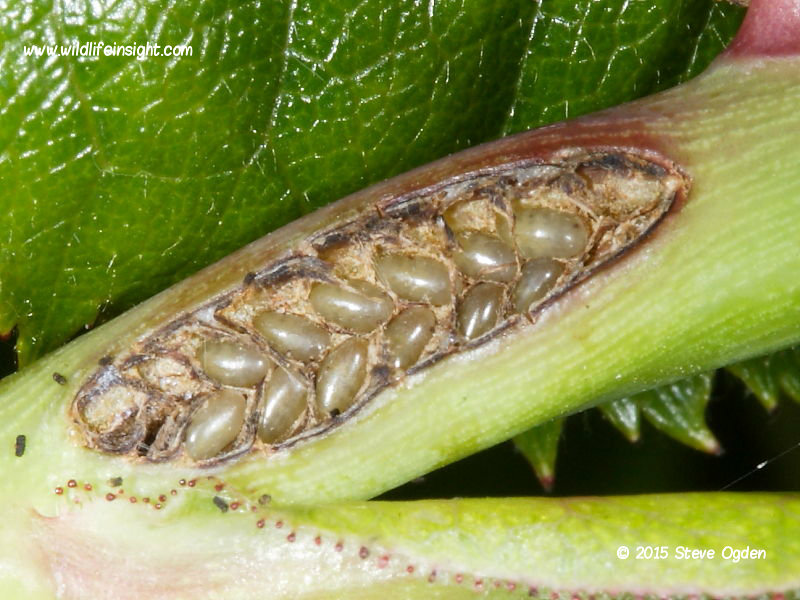 Sawfly eggs laid in rose stem © 2014 Steve Ogden