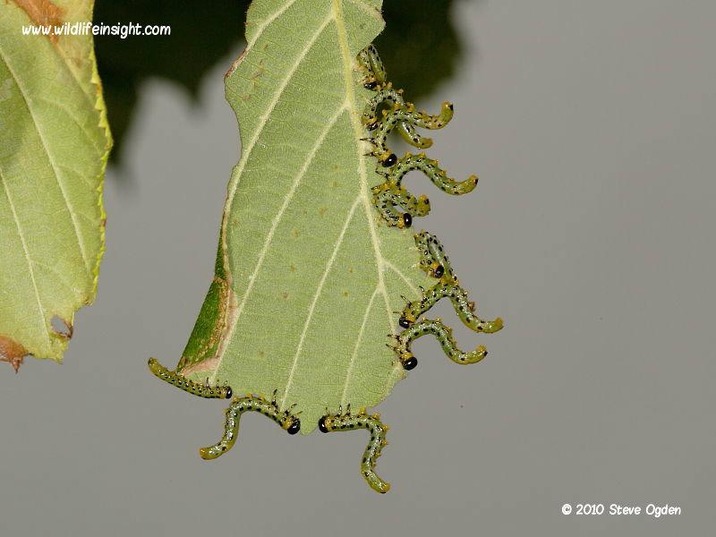 Sawfly larvae on hazel © 2010 Steve Ogden