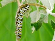 Fully grown Mullein Moth caterpillar (Shargacucullia verbasci) on buddleia © 2013 Steve Ogden