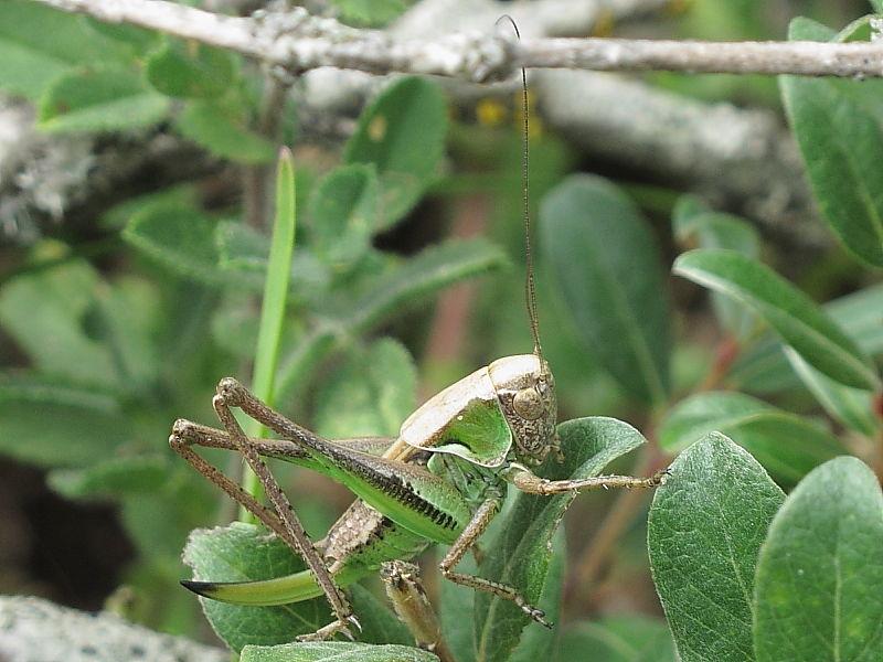 Bog Bush-cricket (Metrioptera brachyptera) - female
