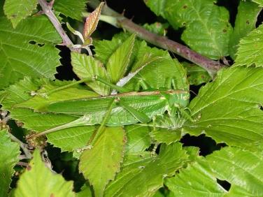 Great Green Bush Cricket (Tettigonia viridissima) - female
