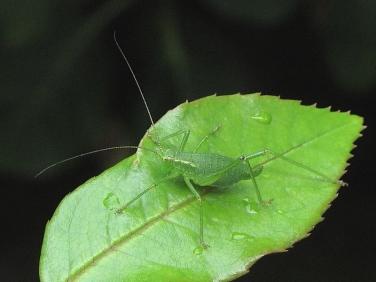 Speckled Bush Cricket (Leptophyes punctatissima) - female