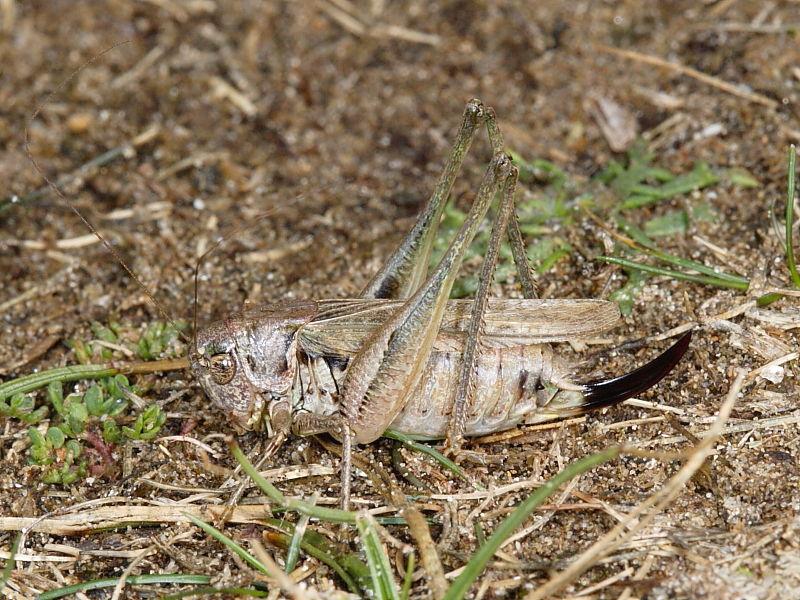 Grey Bush-cricket (Platycleis albopunctata) - female