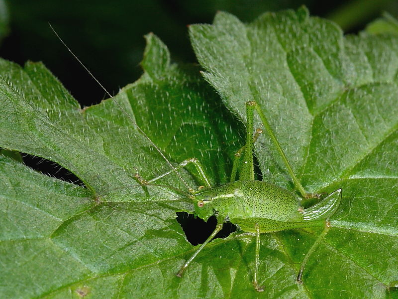 Speckled Bush-cricket (Leptophyes punctatissima) - female