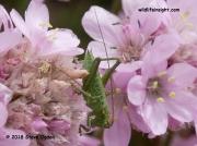 Great Green Bush Cricket (Tettigonia viridissima) nymph