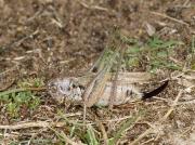 Grey Bush Cricket (Platycleis albopunctata) - female