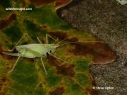 Oak Bush Cricket (Meconema thalassinum)