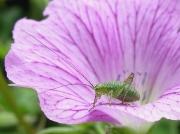 Speckled Bush Cricket (Leptophyes punctatissima) - nymph