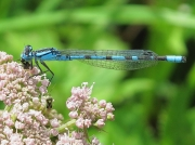 Damselfly Gallery
