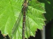 Large Red Damselfly (Pyrrhosoma nymphula) - female f.melanotum