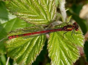 Large Red Damselfly (Pyrrhosoma nymphula) - male
