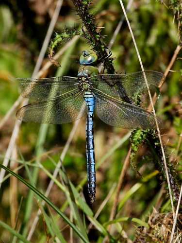 Emperor Dragonfly (Anax imperator) - male