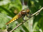 Broad-bodied Chaser (Libellula depressa) immature male