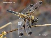 Four-spotted Chaser (Libellula quadrimaculata) form praenubila