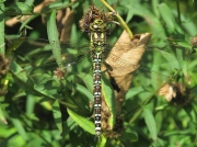 Southern Hawker (Aeshna cyanea)